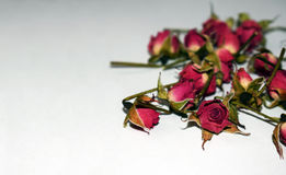 Rosas rojas brillantes en un fondo blanco Imágenes de archivo libres de regalías