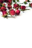 Rosas rojas brillantes en un fondo blanco Imagenes de archivo
