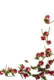 Rosas rojas brillantes en un fondo blanco Imagen de archivo