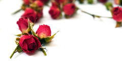 Rosas rojas brillantes en un fondo blanco Fotos de archivo