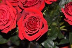 Rosas rojas brillantes, preciosas y felices Imágenes de archivo libres de regalías