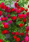 rosas rosas rojas color de rosa rojas hermosas de Bush Ramo de rosas rojas Imagen de archivo