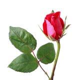 Rosas rojas con descenso del agua Imagen de archivo libre de regalías