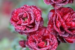 Rosas rojas con gotas de lluvia Imagen de archivo libre de regalías