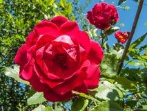 Rosas rojas contra el cielo Foto de archivo libre de regalías