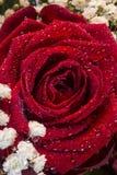 Rosas rojas - día de tarjetas del día de San Valentín Foto de archivo libre de regalías