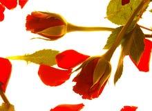 Rosas rojas de la tarjeta del día de San Valentín Foto de archivo libre de regalías