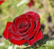 Rosas rojas del brote Imagen de archivo libre de regalías