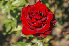 Rosas rojas del brote Imagenes de archivo