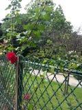 Rosas rojas detrás de la cerca del parque Imágenes de archivo libres de regalías