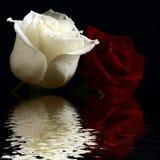 Rosas rojas e inundación blanca en agua Foto de archivo libre de regalías