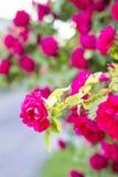 Rosas rojas elegantes Bush de rosas rojas Fotografía de archivo
