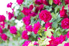 Rosas rojas elegantes Bush de rosas rojas Foto de archivo