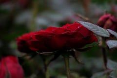 "Rosas rojas en ° del ` del ç del çŽ del ç del ""del æ˜¥å¤©çš de la primavera… "" Fotos de archivo"