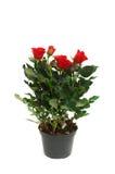 Rosas rojas en el crisol aislado Fotografía de archivo