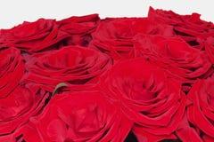 Rosas rojas en el fondo blanco Imagenes de archivo