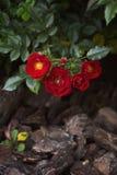 Rosas rojas en el fondo de la corteza Foco selectivo, imagen entonada, efecto de la película Foto de archivo