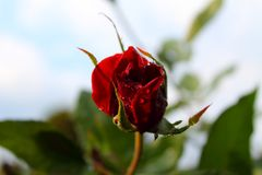 Rosas rojas en el sol La dulzura de rosas blur Árbol en campo fotografía de archivo