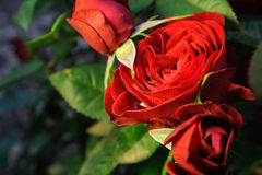 Rosas rojas en jardín foto de archivo libre de regalías