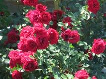 Rosas rojas en jardín del verano Foto de archivo