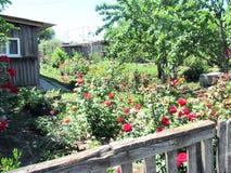 Rosas rojas en jardín del verano Fotos de archivo libres de regalías
