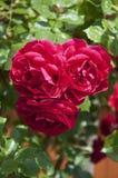 Rosas rojas en un arbusto Imagen de archivo