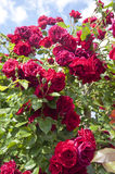 Rosas rojas en un arbusto Foto de archivo libre de regalías