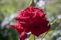 Rosas rojas en un arbusto en un jardín Rusia foto de archivo