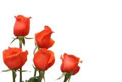 Rosas rojas en un fondo blanco Fotografía de archivo