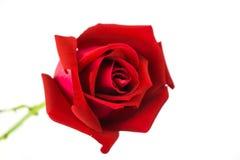Rosas rojas en un fondo blanco Imagen de archivo