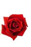 Rosas rojas en un fondo blanco Fotografía de archivo libre de regalías