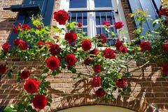 Rosas rojas florecientes hermosas en la primavera, subiendo una fachada soleada de un hogar en Holanda Fotos de archivo