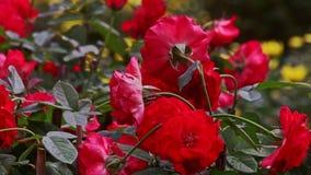 Rosas rojas grandes del primer Niza en la luz del sol en la plantación almacen de video