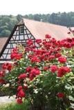 Rosas rojas hermosas en el cerco urbano Fotografía de archivo libre de regalías