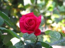 Rosas rojas hermosas en jardín Imagenes de archivo