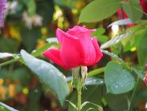 Rosas rojas hermosas en jardín Imagen de archivo libre de regalías