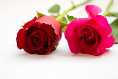 Rosas rojas para el día del ` s de la tarjeta del día de San Valentín aisladas en el fondo blanco Fondo del blanco de la tarjeta  Foto de archivo libre de regalías