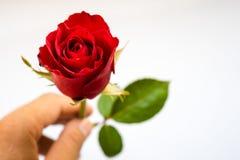 Rosas rojas para el día del ` s de la tarjeta del día de San Valentín aisladas en el fondo blanco Fondo del blanco de la tarjeta  Imagen de archivo libre de regalías