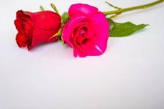 Rosas rojas para el día del ` s de la tarjeta del día de San Valentín aisladas en el fondo blanco Fondo del blanco de la tarjeta  Fotos de archivo libres de regalías