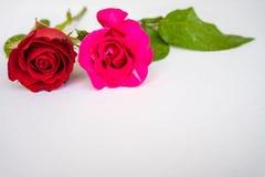 Rosas rojas para el día del ` s de la tarjeta del día de San Valentín aisladas en el fondo blanco Fondo del blanco de la tarjeta  Imagen de archivo