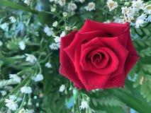 Rosas rojas que florecen en un fondo de la flor blanca imagen de archivo