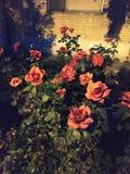 Rosas rojas que sorprenden En la noche fotos de archivo