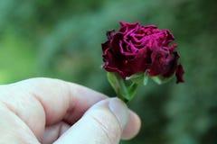 Rosas rojas una a disposición con el fondo verde foto de archivo libre de regalías