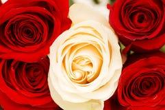 Rosas rojas y blancas Fotos de archivo