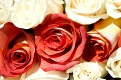 Rosas rojas y blancas Foto de archivo libre de regalías