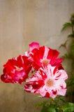 Rosas rojas y blancas Fotografía de archivo libre de regalías