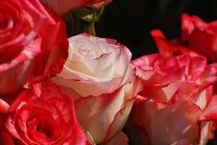 Rosas rojas y blancas Fotografía de archivo