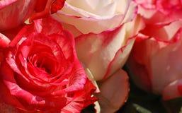 Rosas rojas y blancas Imagen de archivo libre de regalías