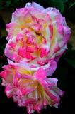 Rosas rojas y blancas Foto de archivo