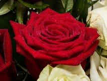 Rosas rojas y blancas con descensos del agua Imágenes de archivo libres de regalías